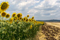 Sunflower field in summer and plowed lane Royalty Free Stock Photography