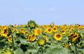 Sunflower field summer season landscape Royalty Free Stock Photos