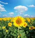 Sunflower field in the sunny day. Royalty Free Stock Photo