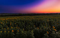Sunflower field sunrise approaching the horizon of a in kansas Royalty Free Stock Photography