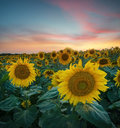 Sunflower on field during sunrise Royalty Free Stock Photo