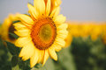 Sunflower field on Sunrise Royalty Free Stock Photo