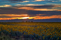 Sunflower Field at sunset in Colorado Royalty Free Stock Photo