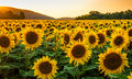 Sunflower field at sunset in sunny summer day Stock Image