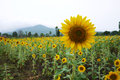 Sunflower field in the surrounded with mountain Royalty Free Stock Images