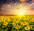 Sunflower field on susnet Royalty Free Stock Photo