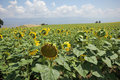 Sunflower in a field in türkiye full bloom on a sunny day Stock Images