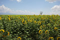 Sunflower in a field in türkiye full bloom on a sunny day Stock Image