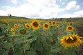 Sunflower in a field in türkiye full bloom on a sunny day Royalty Free Stock Photography