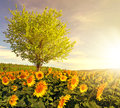 Sunflower field with tree Royalty Free Stock Photo
