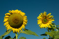Sunflower field two flowers in different sizes Royalty Free Stock Photos