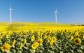 Sunflower field with two windmills Royalty Free Stock Photo