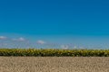 Sunflower field under the blue sky full frame Royalty Free Stock Photo