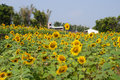 Sunflower field under the blue sky Royalty Free Stock Photo