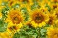 Sunflower field, yellow flower closeup, beautiful summer landscape Royalty Free Stock Photo
