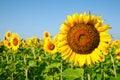Sunflower fields Royalty Free Stock Photo