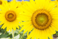 Sunflower fields in lopburi thailand Royalty Free Stock Photo