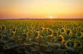 Sunflower fields during sunset. Royalty Free Stock Photo