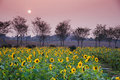 Sunflower fields in sunset Royalty Free Stock Photo