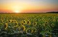 Sunflower fields in warm evening light. Royalty Free Stock Photo
