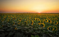 Sunflower fields in warm evening light. Royalty Free Stock Photo