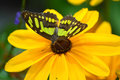 Sunflower and Florida Malachite Butterfly Royalty Free Stock Photo