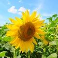 Sunflower flower against the blue sky Royalty Free Stock Photo