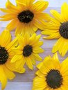 Sunflower flower background Royalty Free Stock Photo