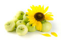 Sunflower flower and green apples Royalty Free Stock Photo