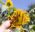 Sunflower flower in hand Royalty Free Stock Photo