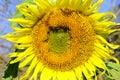 Sunflower Flower (Helianthus A...