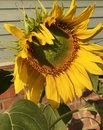 Sunflower flower Royalty Free Stock Photo