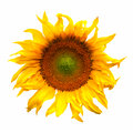 Sunflower flower plant blossom isolated on white Royalty Free Stock Photo
