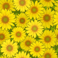 Sunflower flower seamless background vector yellow pattern Royalty Free Stock Photography