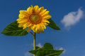 Sunflower flower sky closeup Royalty Free Stock Photo