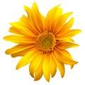 Sunflower flower vector Royalty Free Stock Photo