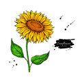 Sunflower flower vector drawing. Hand drawn illustration isolated on white background. Royalty Free Stock Photo