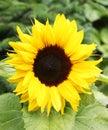 Sunflower flowerbud Royalty Free Stock Images