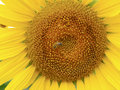 Sunflower france in the countryside Royalty Free Stock Photography
