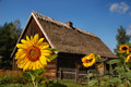 Sunflower in front of old cottage house Royalty Free Stock Photos