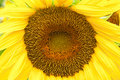 Sunflower in full bloom Stock Photo