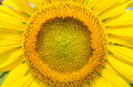 Sunflower full blossom Royalty Free Stock Photos