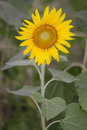 Sunflower Garden With Blue Sky...