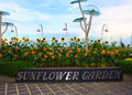 Sunflower garden at changi airport one of the best in the world in singapore Stock Photos