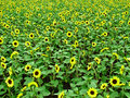 The sunflower garden china s yunnan park scale is very large Stock Photography
