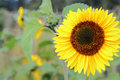 Sunflower in garden close up of a the with a soft focus background Royalty Free Stock Photos