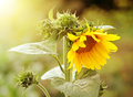 Sunflower in garden photography of beauty evening sunkight Stock Images