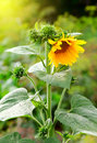 Sunflower in garden photography of beauty evening sunkight Stock Photography