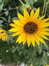 Sunflower giving bright look Royalty Free Stock Images