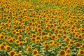 Sunflower gold field Stock Images